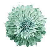 Chrysantheme Türkis-grün Blühen Sie auf lokalisiertem weißem Hintergrund mit Beschneidungspfad ohne Schatten Nahaufnahme Für Ausl lizenzfreies stockfoto