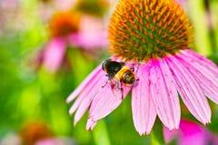 Chrysantheme und eine Biene Stockfotografie