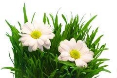 Chrysantheme zwei im Gras stockfoto