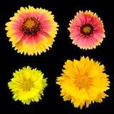 Chrysanthemeansammlung stockbild