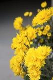 Chrysanthemeblüte stockfoto
