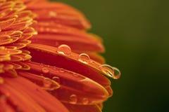 Chrysanthemeblume Stockbilder