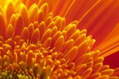 Chrysanthemeblume Lizenzfreie Stockfotos