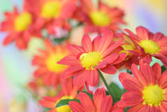 Chrysanthemeblume Stockbild
