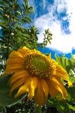 Chrysanthemeblumen Stockbild