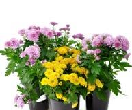 Chrysanthemeblumen Lizenzfreies Stockfoto