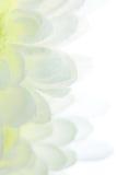 Chrysanthemeblumenblätter mit Wassertropfen Lizenzfreie Stockbilder