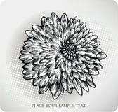 Chrysanthemeblumenhand gezeichnet. Vektorillustrati Stockfoto