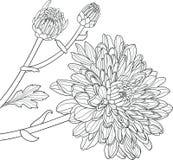 Chrysanthemen übergeben gezogenen Vektor Lizenzfreies Stockfoto