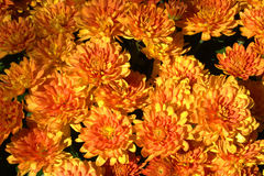 Chrysanthemen Stock Images