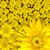 Chrysanthemen Stockbilder