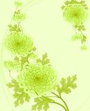 Chrysanthemen. Lizenzfreie Stockbilder