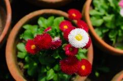 Chrysanthemen Lizenzfreies Stockfoto