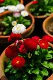 Chrysanthemen Stockbild