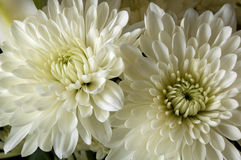 chrysanthemen Lizenzfreies Stockbild