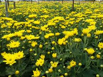 chrysanthemen stockfotografie