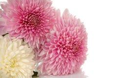 Chrysanthemen auf Weiß lokalisiertem Hintergrund Einfach zu bearbeiten und zu ändern lizenzfreie stockfotografie