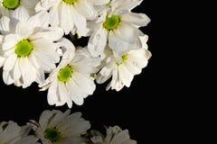 Chrysanthemen des weißen Gänseblümchens auf Schwarzem Lizenzfreies Stockfoto
