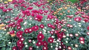 Chrysanthemen-/Gartenmamas Stockfoto