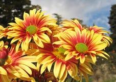 Chrysanthemen gegen blauen Himmel und Wolken lizenzfreie stockfotografie