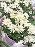 Chrysanthemen im Blumentopf Stockbild