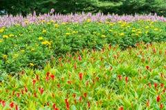 Chrysanthemen und rosa Salvia und Hahnenkamm blühen das Blühen im Garten Lizenzfreies Stockfoto