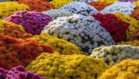Chrysanthemen von verschiedenen Farben Lizenzfreies Stockbild