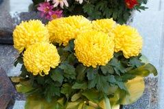 Chrysanthemenanlage auf einer Finanzanzeige stockbild