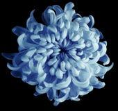 Chrysanthemenblautürkisblume lokalisiert mit Beschneidungspfad auf einem schwarzen Hintergrund Dunkelblaue Mitte der schönen Chry Lizenzfreie Stockfotos