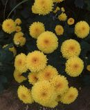 Chrysanthemenblume Lizenzfreie Stockbilder