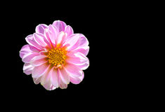 Chrysanthemenblume auf Hintergrund, Beschneidungspfad Stockbild