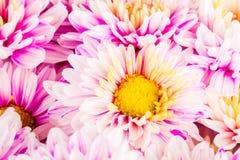 Chrysanthemenblume im chiangmai Thailand Stockbild