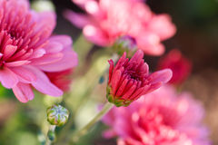 Chrysanthemenblume im Garten Lizenzfreie Stockfotos