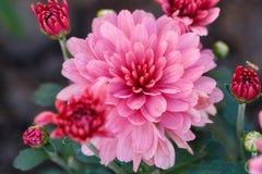 Chrysanthemenblume im Garten Stockbild