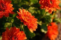 Chrysanthemenblume im Garten Lizenzfreies Stockbild