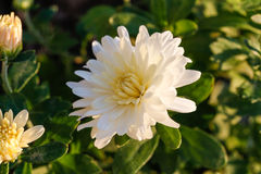 Chrysanthemenblume im Garten Stockfoto