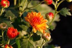 Chrysanthemenblume im Garten Lizenzfreies Stockfoto