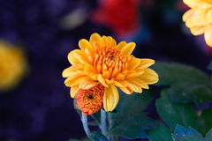 Chrysanthemenblume im Garten Lizenzfreie Stockfotografie