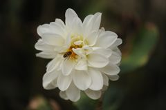 Chrysanthemenblume mit einer Hummel lizenzfreies stockbild