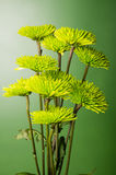 Chrysanthemenblumenanordnung auf grünem Hintergrund stockbild