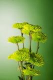 Chrysanthemenblumenanordnung auf grünem Hintergrund lizenzfreies stockbild