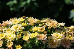Chrysanthemenblumenstrauß Stockbilder