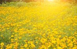 Chrysanthemengarten Lizenzfreie Stockbilder