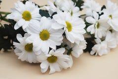 Chrysanthemenkamille weiße Blumen-Blumenstrauß über neutralem beige Hintergrund mit Kopienraum Lizenzfreie Stockfotografie