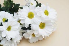 Chrysanthemenkamille weiße Blumen-Blumenstrauß über neutralem beige Hintergrund mit Kopienraum Stockbild