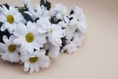 Chrysanthemenkamille weiße Blumen-Blumenstrauß über neutralem beige Hintergrund mit Kopienraum Lizenzfreie Stockbilder