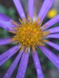 Chrysanthemenmakrofoto am regnerischen Tag, stockbild