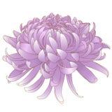 Chrysanthemenrosa lizenzfreie stockbilder