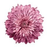 Chrysanthemenrosa Blühen Sie auf lokalisiertem weißem Hintergrund mit Beschneidungspfad ohne Schatten Nahaufnahme Für Auslegung stockbilder