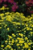 Chrysanthemenshow Stockfoto